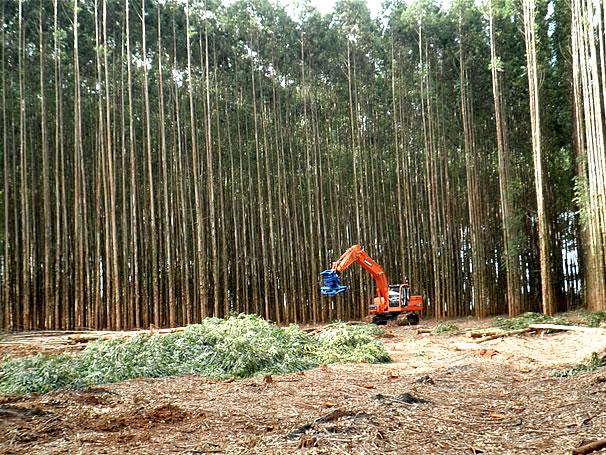 corte de eucalipto